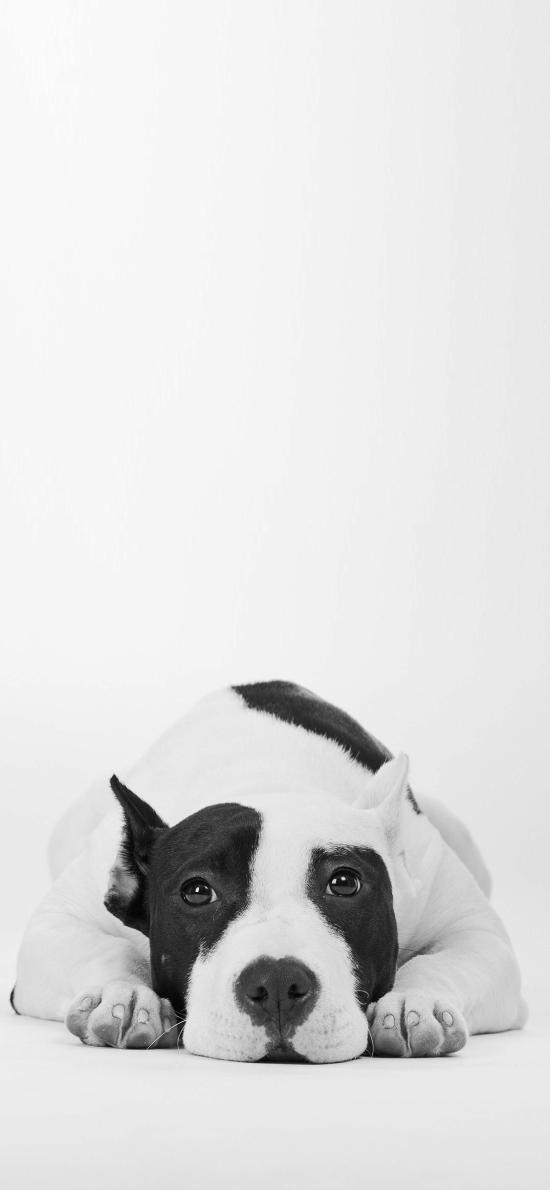 狗狗 犬 黑白 汪星人 趴 宠物 可爱