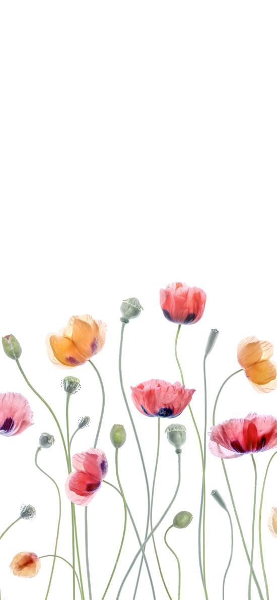 罂粟花 枝叶 盛开 唯美