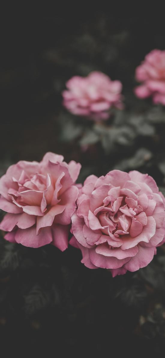 鮮花 盛開 花瓣 綻放