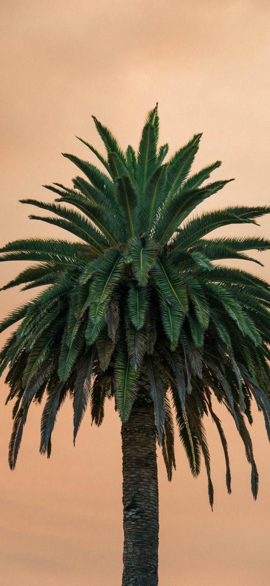 景色 椰樹 樹干 高聳