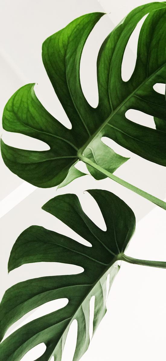 龜背竹 枝葉 鮮綠 盆栽 觀賞性