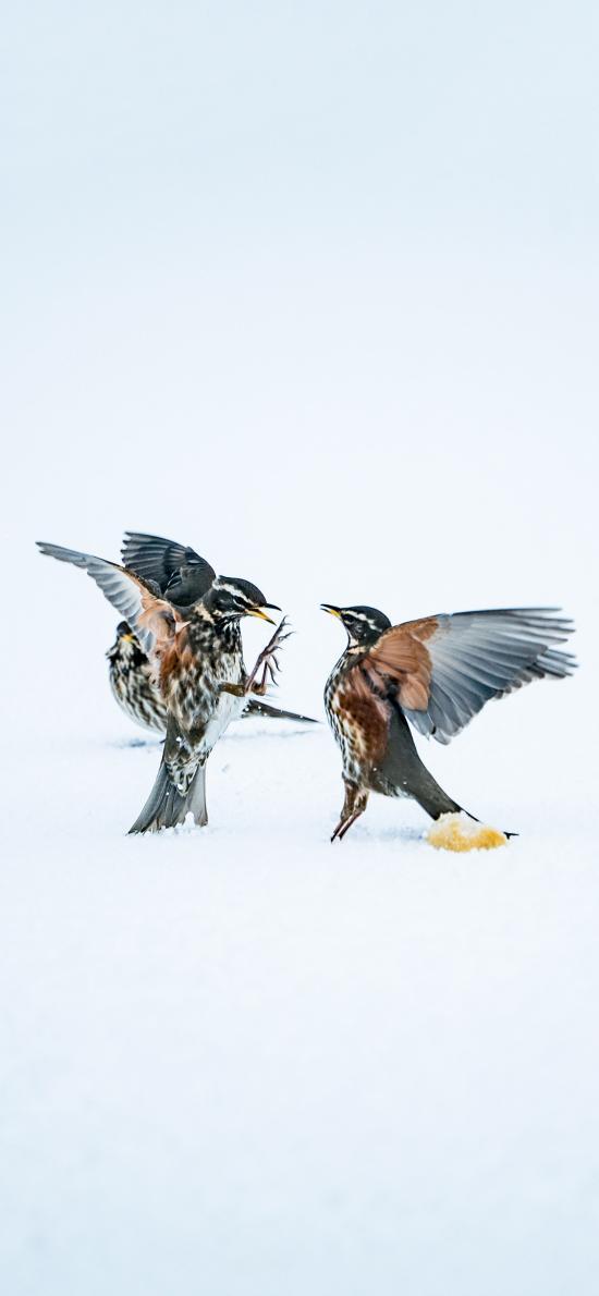 飛鳥 田鶇 雪地 互斗