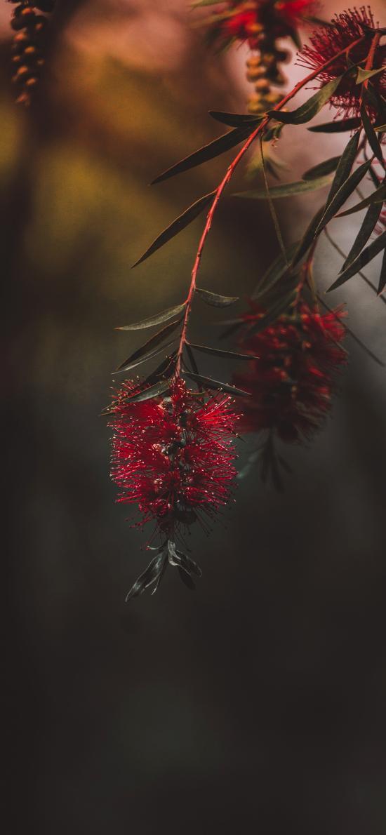 串錢柳 瓶刷子樹 紅色鮮花
