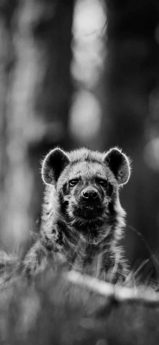 狼獾 似熊 哺乳動物 黑白、