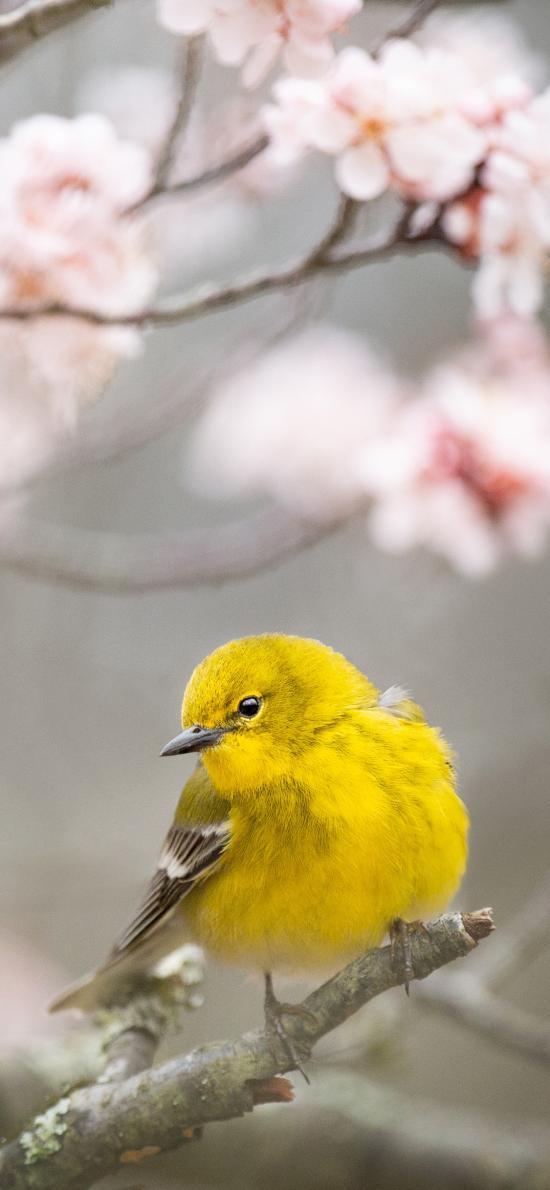 飛鳥 迷你 松鶯 黃色