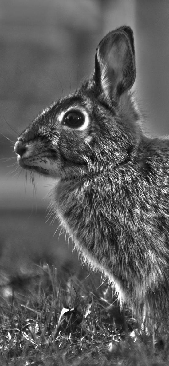 兔子 灰色 草坪