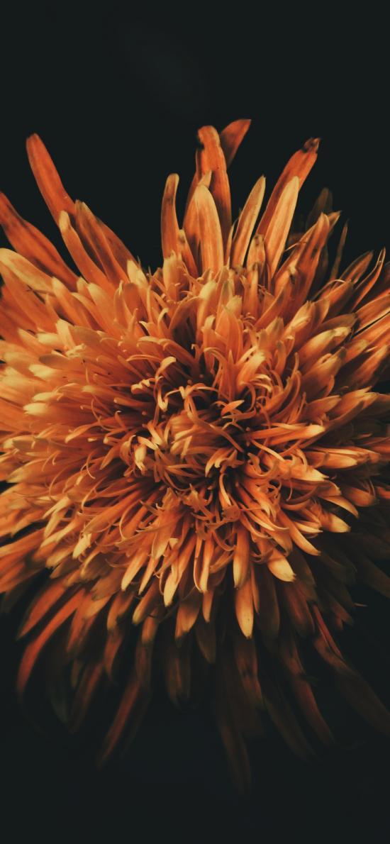 菊花 鮮花 盛開 花瓣