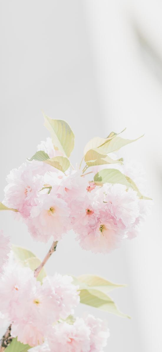 鮮花 盛開 粉嫩 枝葉 陽光 清新