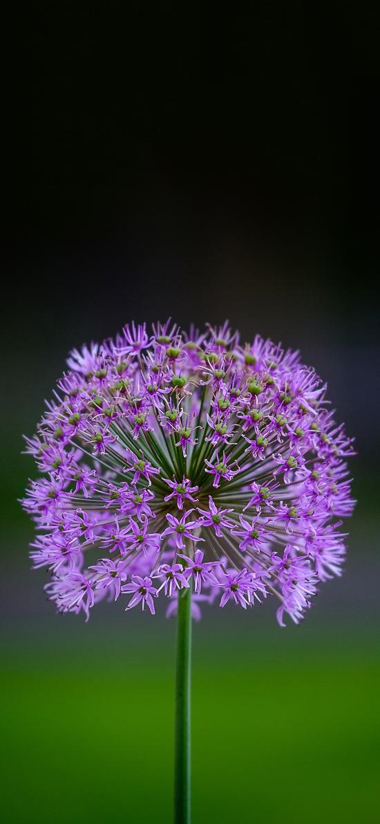 鮮花 韭花 紫色 綻放