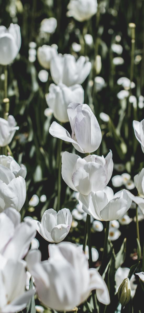 郁金香 鮮花 白色 枝葉  花田