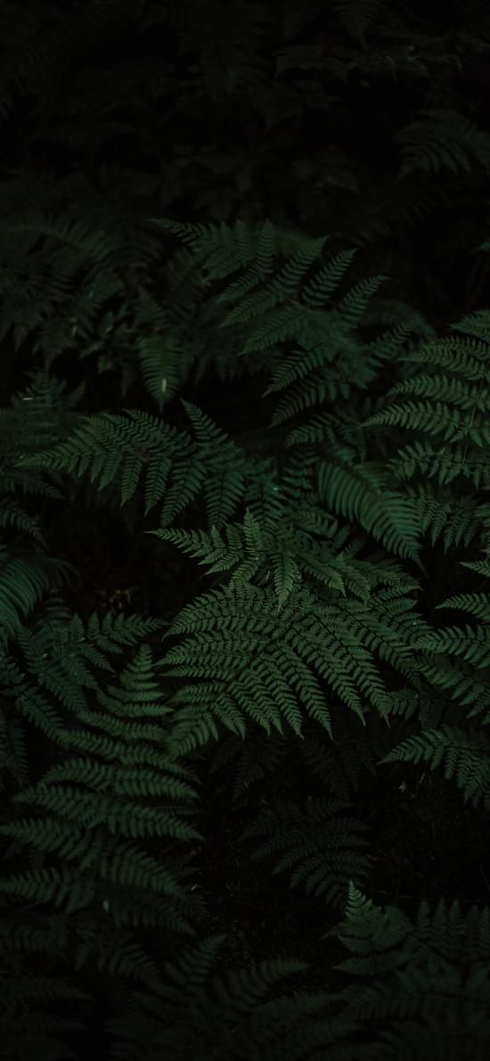 蕨類 暗黑 特寫 松葉蕨