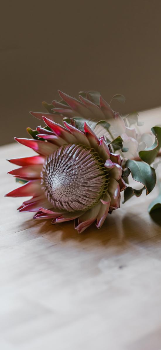 鮮花 帝王華 南非共和國 國花