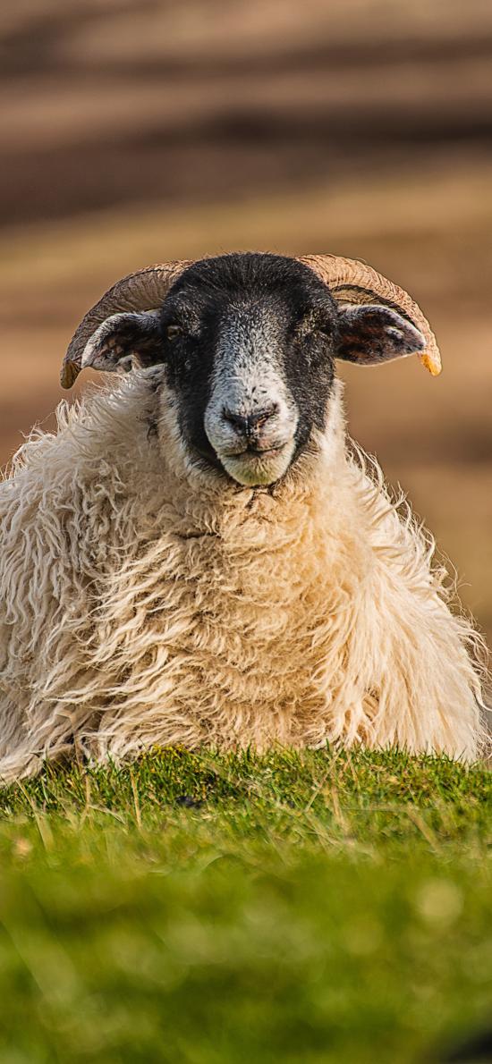 草地 羊 黑臉 羊羔