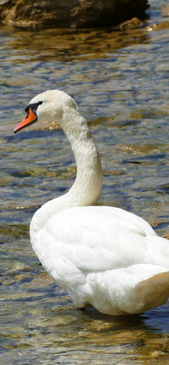 天鵝 羽毛 湖水 美麗