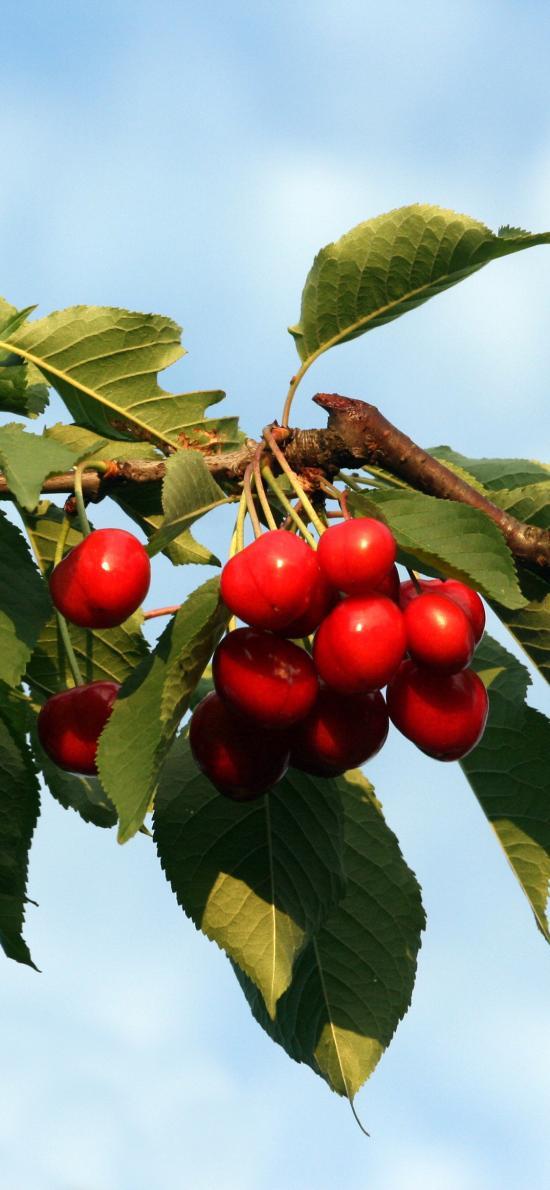 櫻桃 水果 枝葉 枝干 新鮮