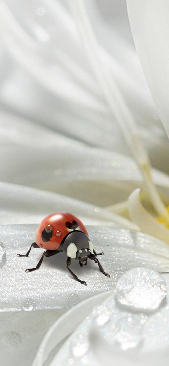 昆蟲 七星瓢蟲 下哪壺 菊花 雨珠