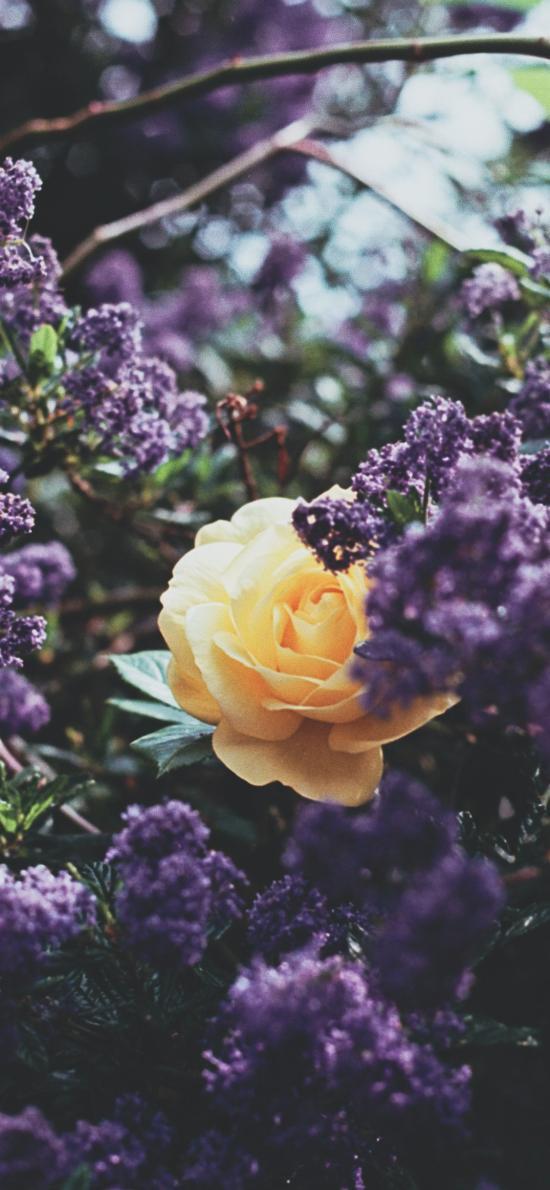 花叢 鮮花 紫色 黃色