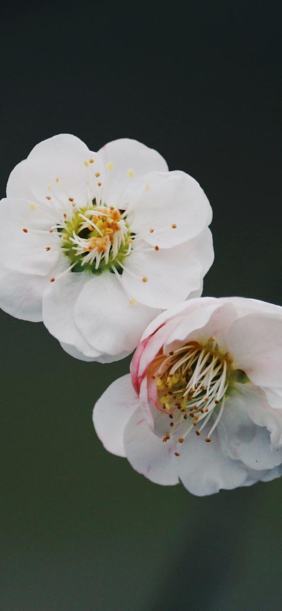鮮花 盛開 梅花 花蕊