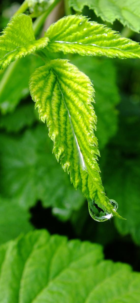 綠葉 水珠 露珠 嫩芽