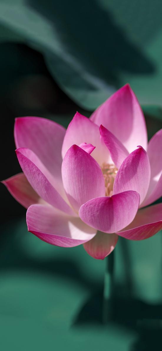 荷花 鮮花 盛開 荷葉 唯美