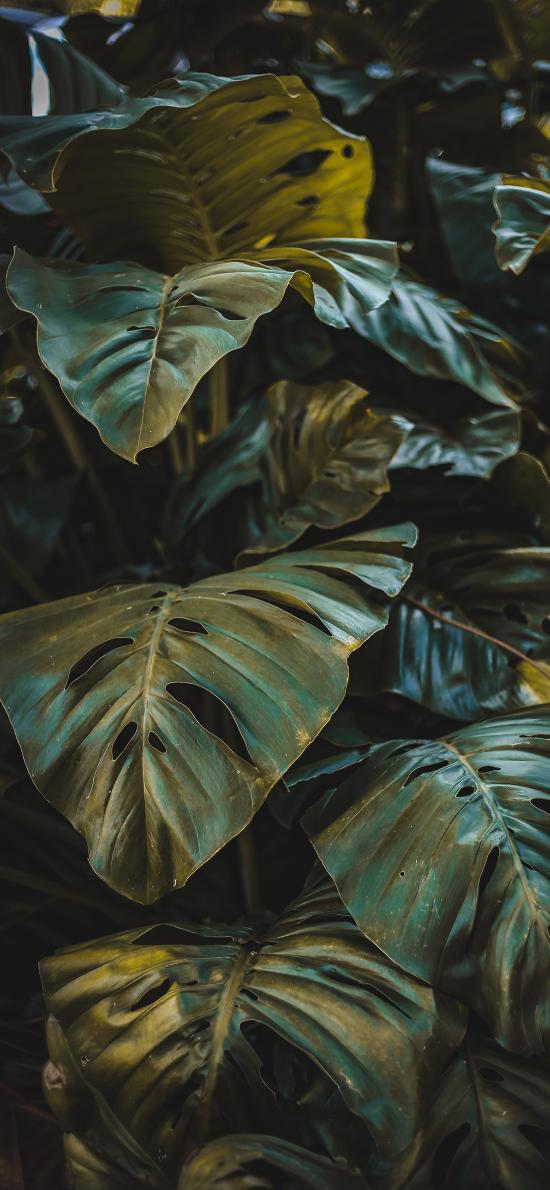 綠植 枝葉 觀賞性 大葉
