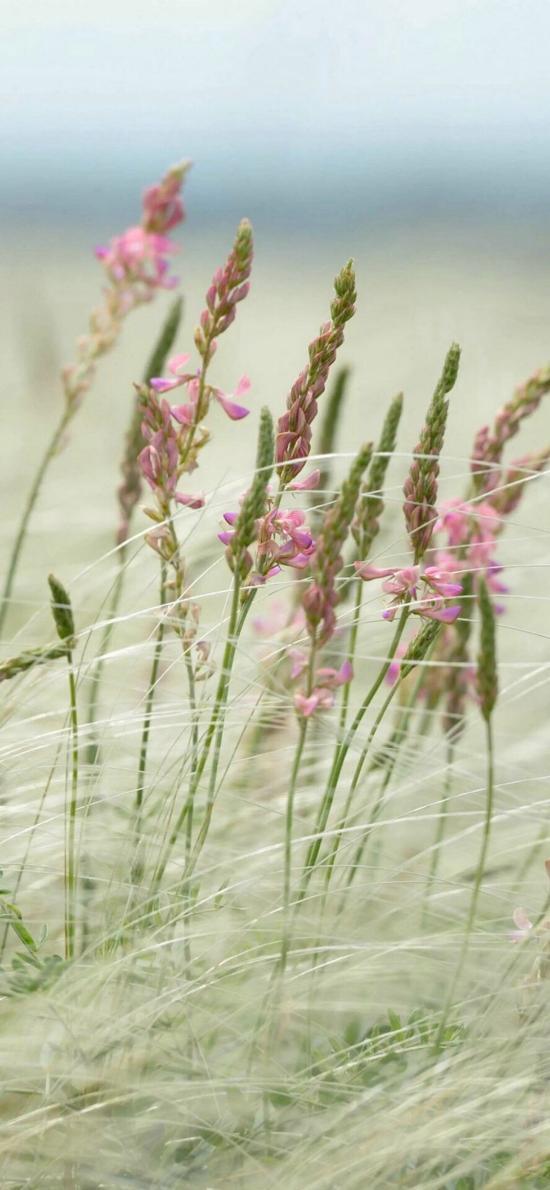 郊外 紅豆草 驢食草 粉色小花