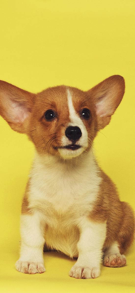 柯基 宠物 可爱 犬类 大耳