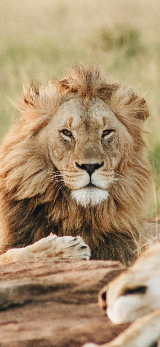 狮子 猛兽 草原 森林之王