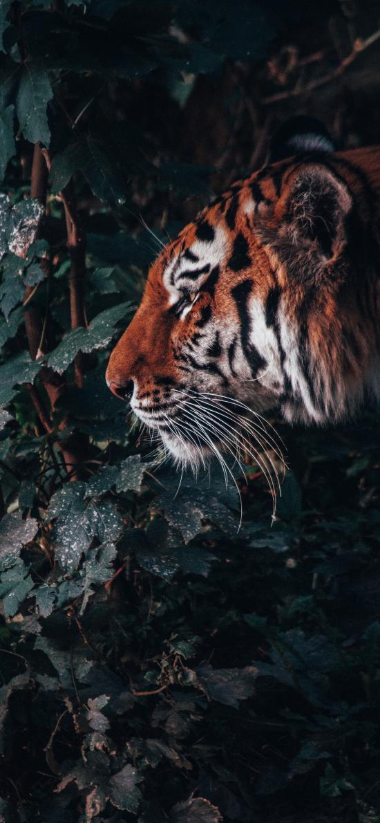 老虎 猛兽 野外 林中之王