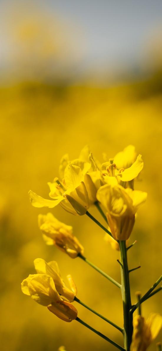 油菜花 鲜花 黄色 花田