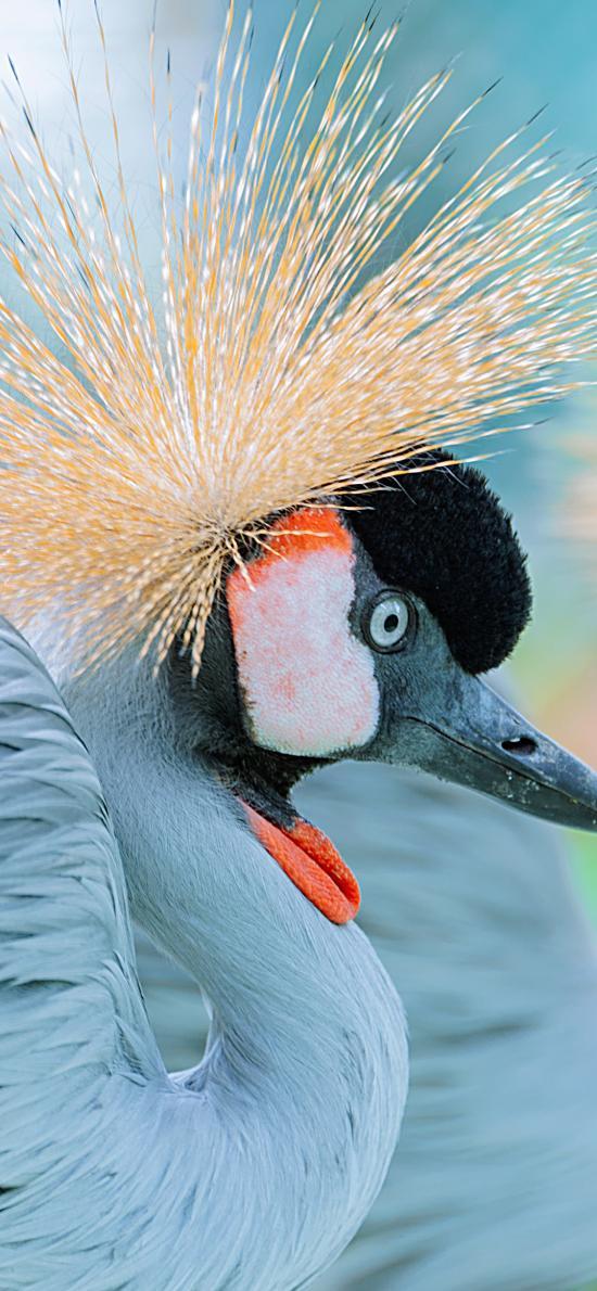 冠鶴 鳥 非洲物種 羽毛