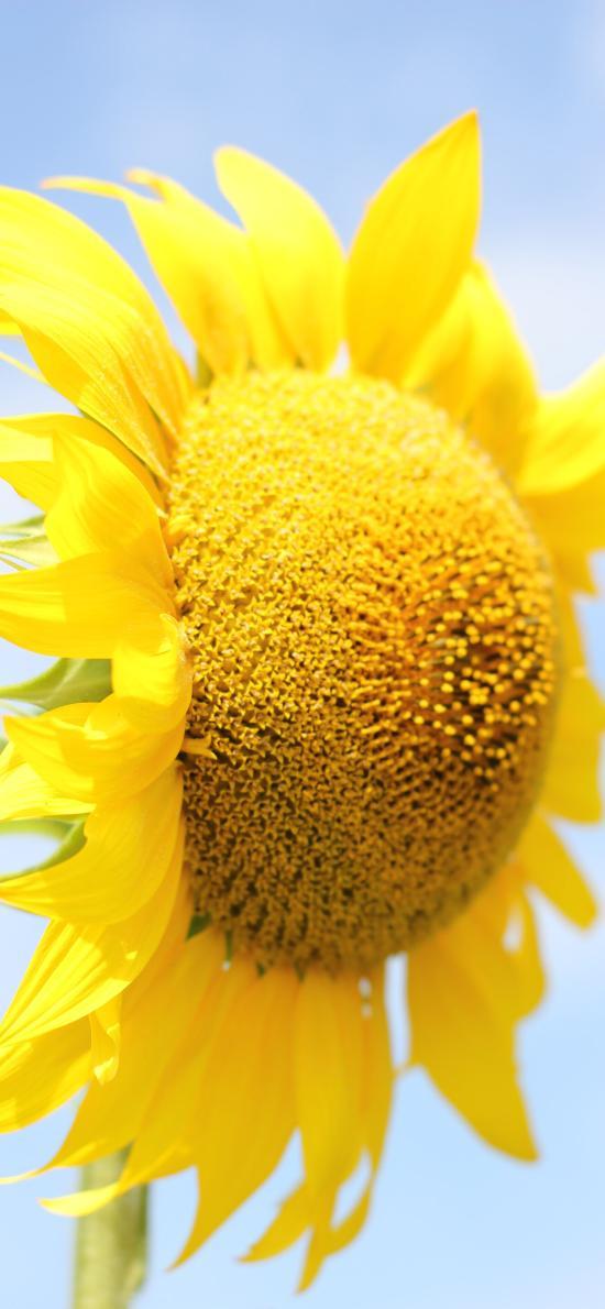向日葵 鮮花 特寫 花瓣 花蕊