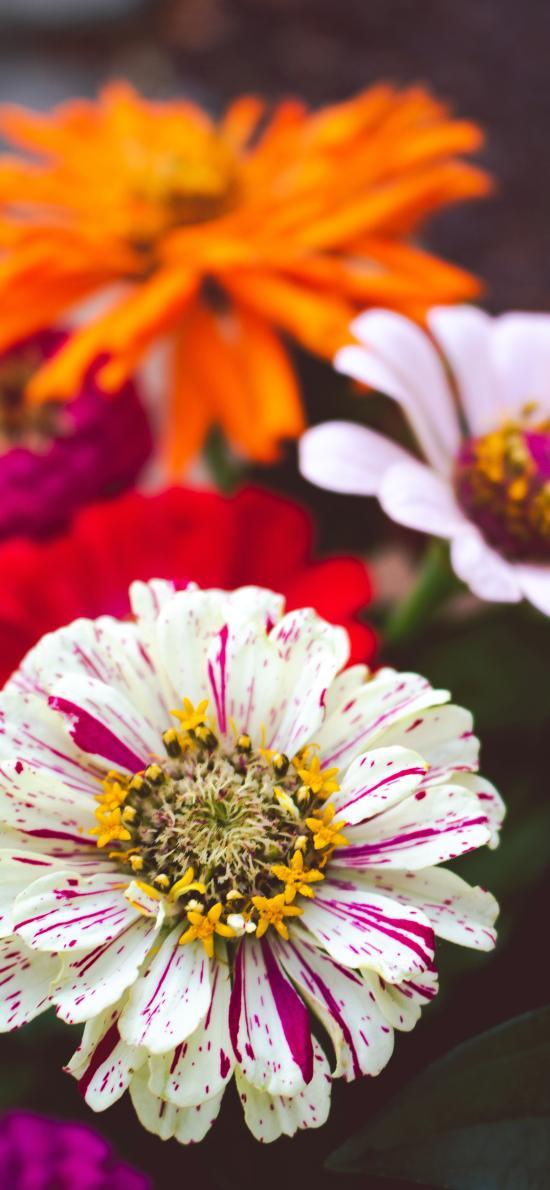鮮花 菊花 盛開 花蕊
