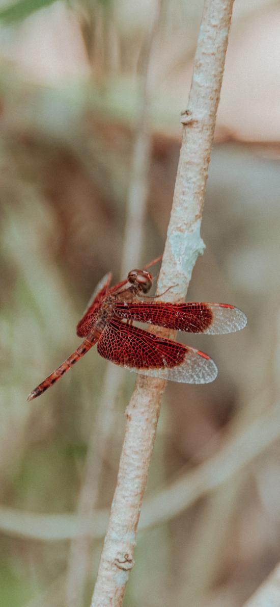蜻蜓 翅膀 枝干 昆蟲