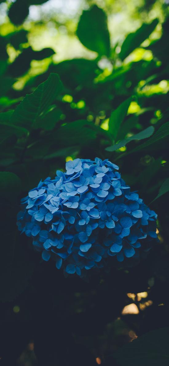繡球花 鮮花 枝葉 盛開