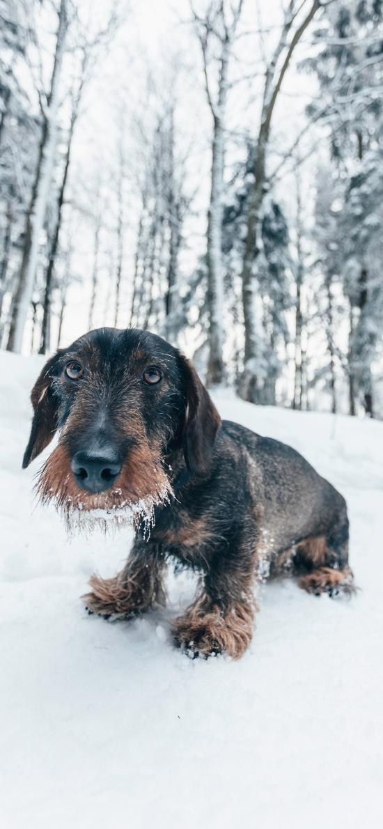 狗 雪地 毛發冬季