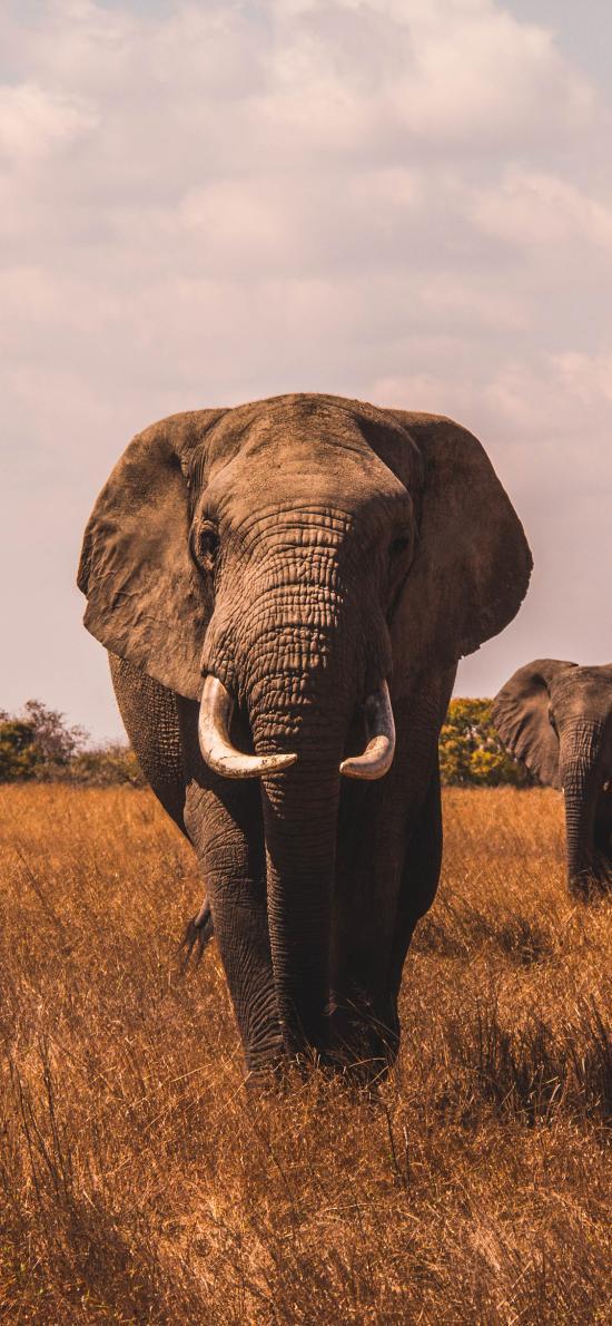 大象 草原 野生 尖牙