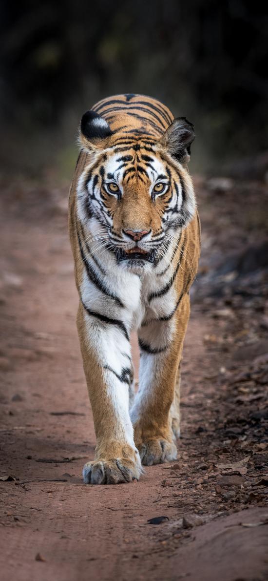 老虎 兇猛 猛獸 山林之王