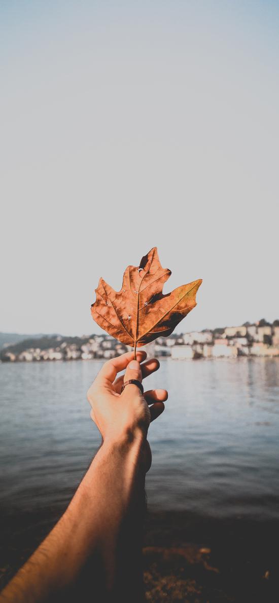 楓葉 落葉 枯黃 葉子