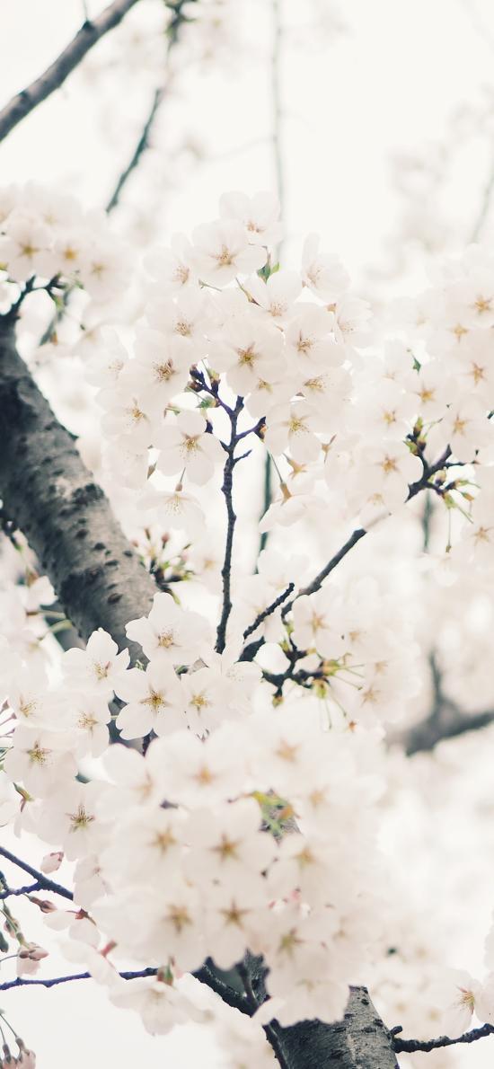樹木 鮮花 梨花 白色