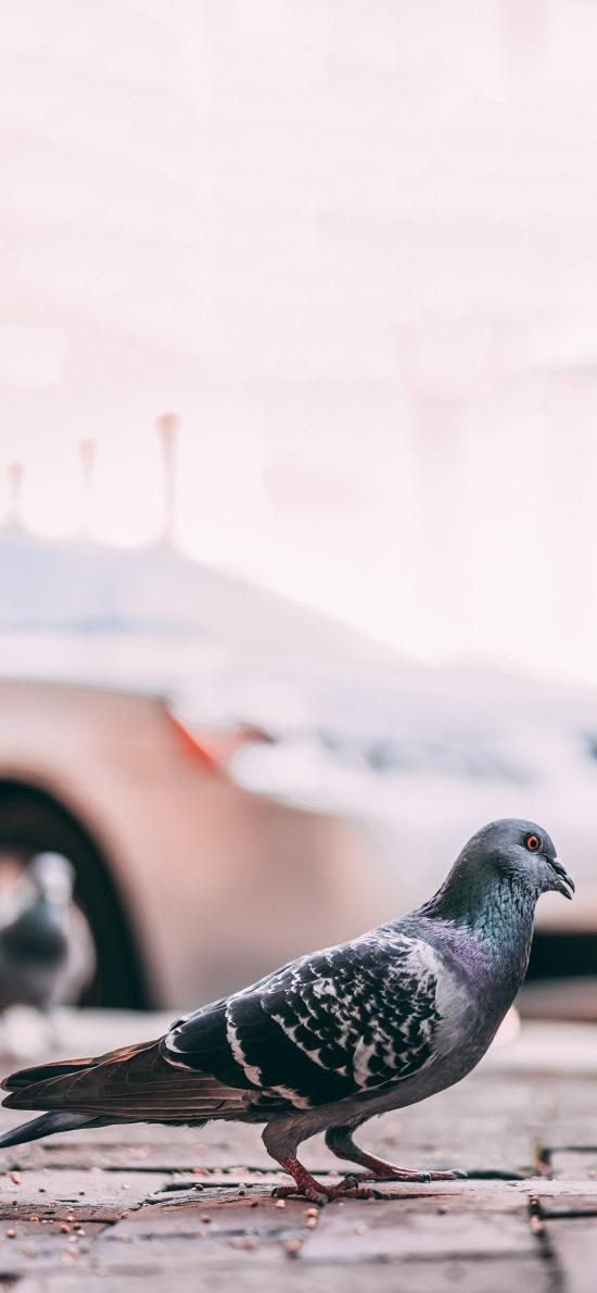 飛鳥 鴿子 和平象征 灰色