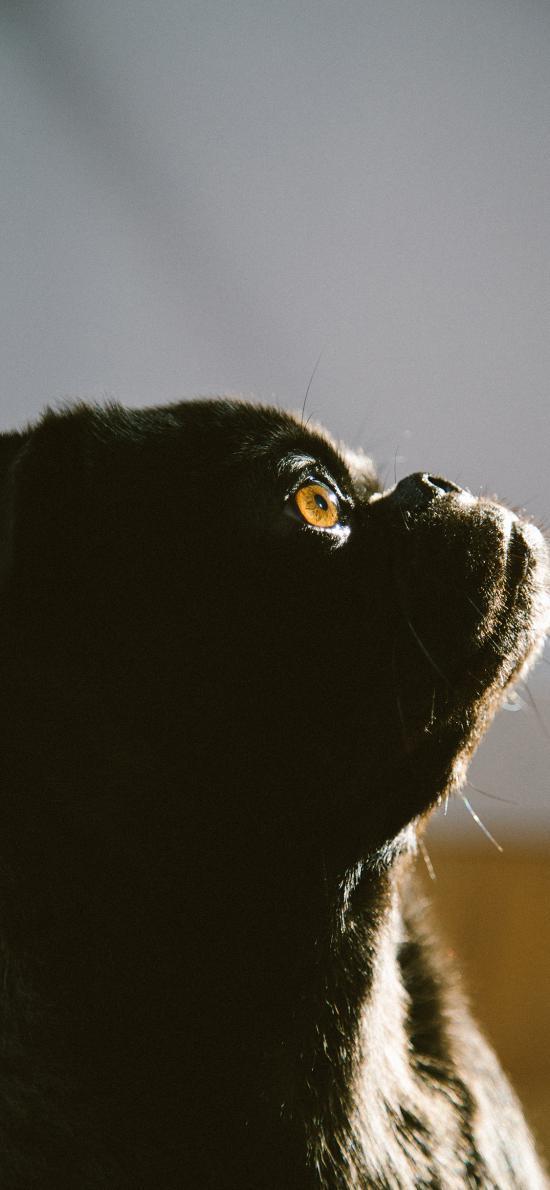 巴哥 寵物 黑狗 光影