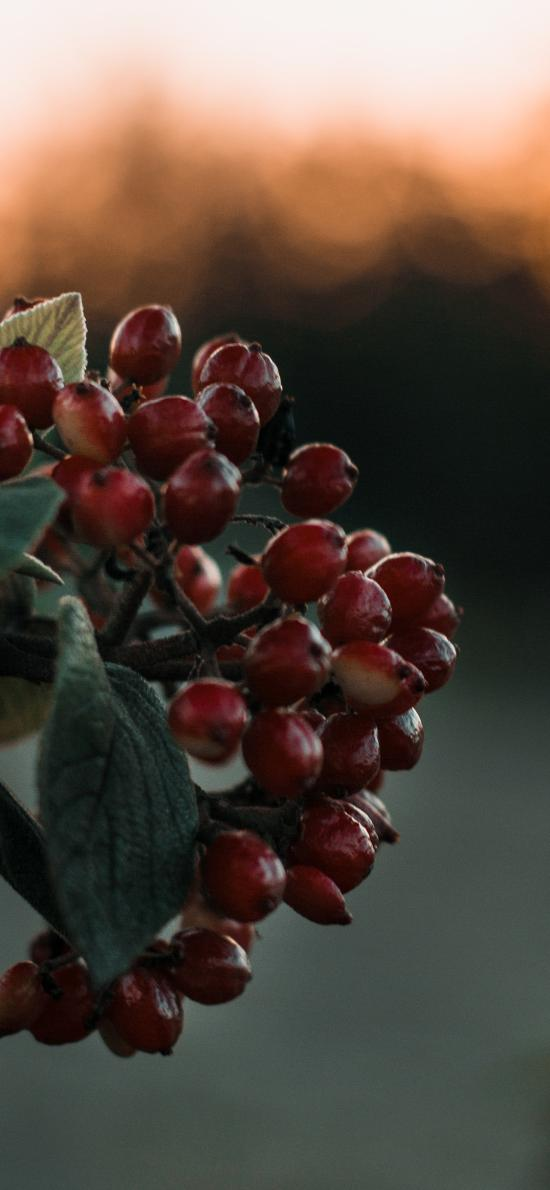 漿果 果實 一簇 暗紅