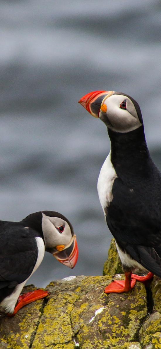 北極海鸚 海鳥 鳥類 巖石