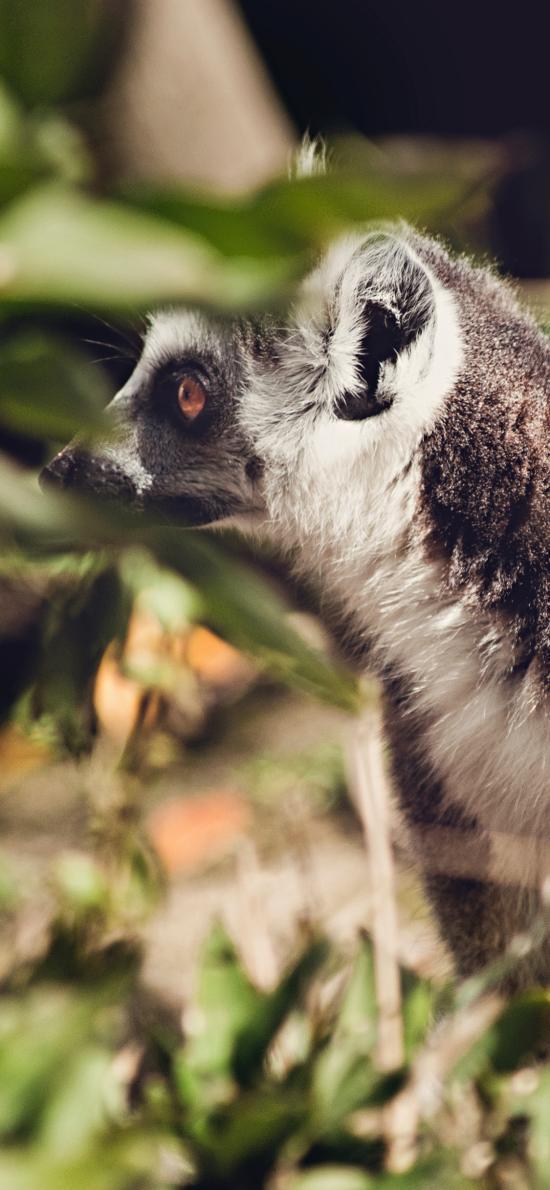 環尾狐猴 皮毛 親子