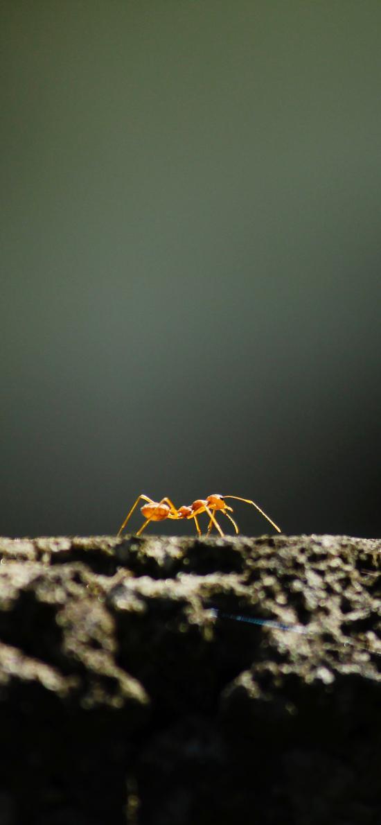 螞蟻 節肢 昆蟲 爬行