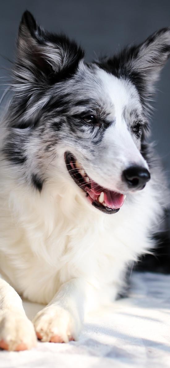 牧羊犬 寵物狗 品種