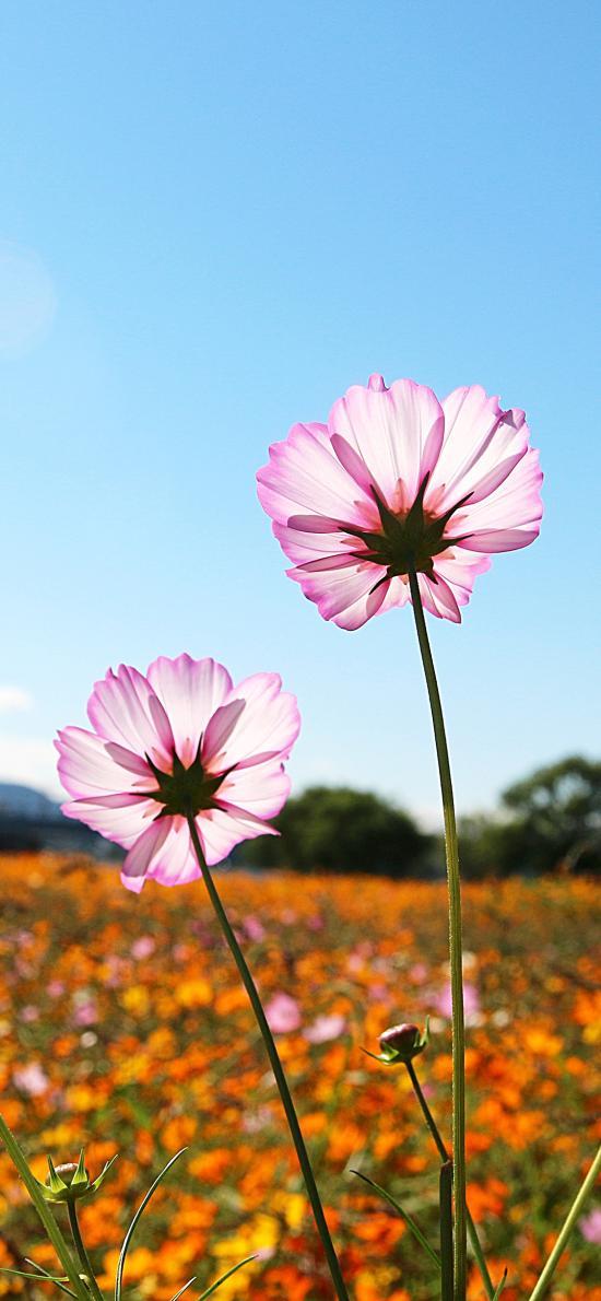 鮮花 盛開 花朵 花海 郊外