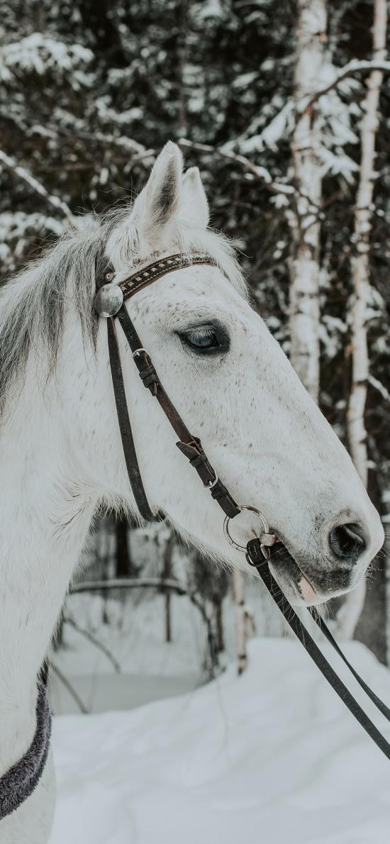 郊外 雪地 白马 奔跑