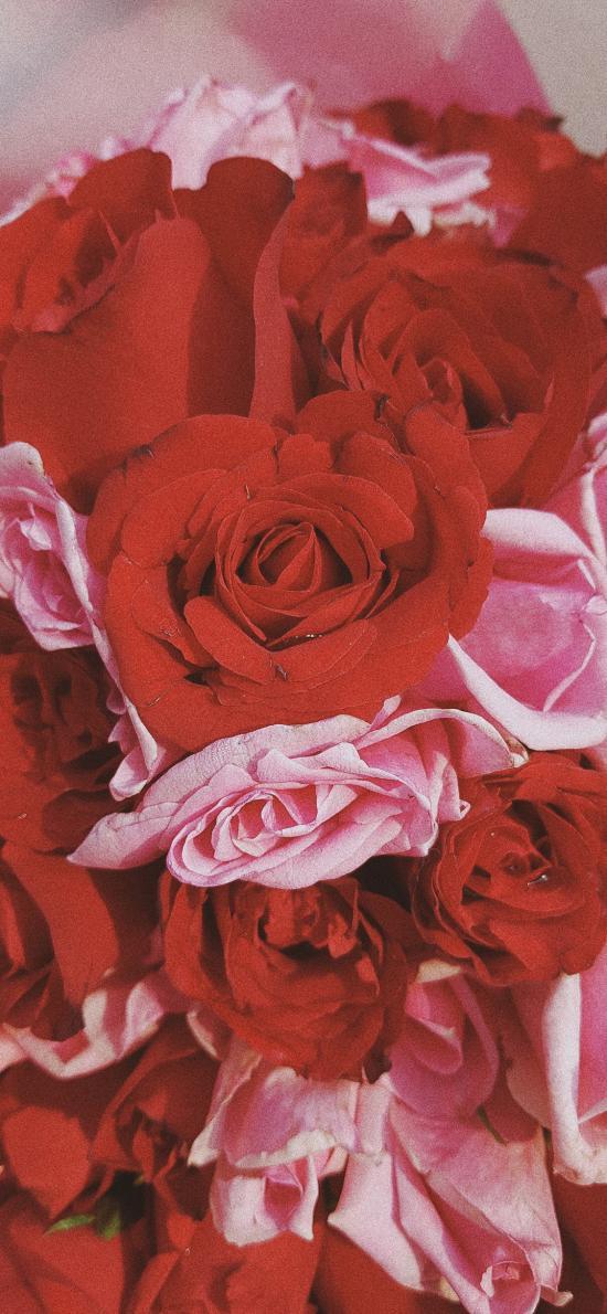鲜花 红玫瑰 粉玫瑰 鲜艳